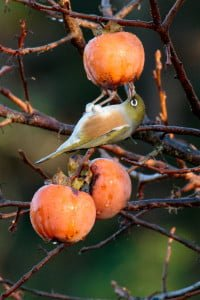 David Brooks persimmon waxeye