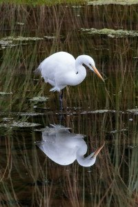 David Brooks white heron1